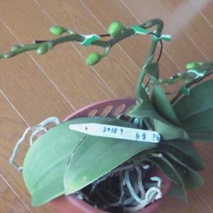 成長が進むミニ胡蝶蘭の花芽(その1)!