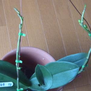 成長が進むミニ胡蝶蘭の花芽(その2)!