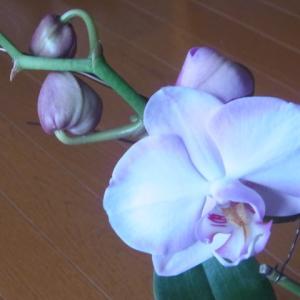 開花が始まったピンクの胡蝶蘭!