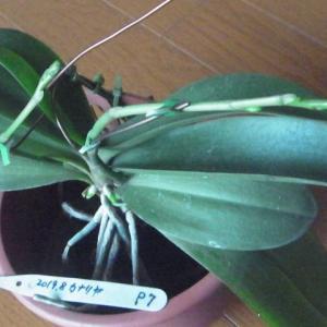 2本の花芽のミニ胡蝶蘭「カナリヤ」!