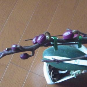 蕾の成長が進む赤花のミニ胡蝶蘭!