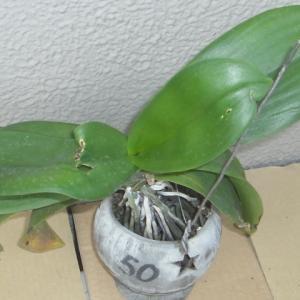 成長が進む中輪系の胡蝶蘭とミニ胡蝶蘭!