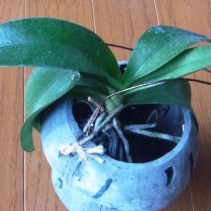 植え込み材料なしのミニ胡蝶蘭「なごり雪」!