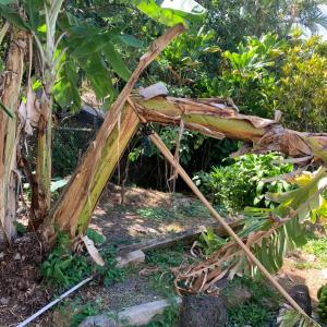 バナナもアボカドも大収穫