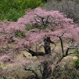 2017 西丸尾の桜
