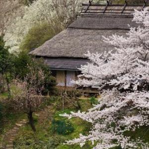 2016 美里の桜