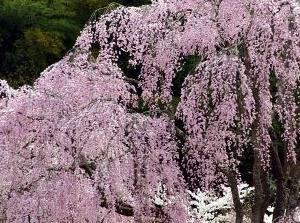 2016 氏乗りの桜