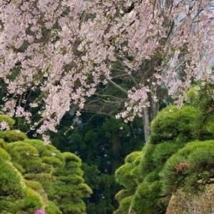 2016 西岸寺 伊那三女の桜