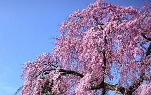 2016 薬師堂の桜