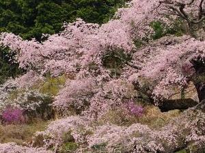 2016 西丸尾の桜