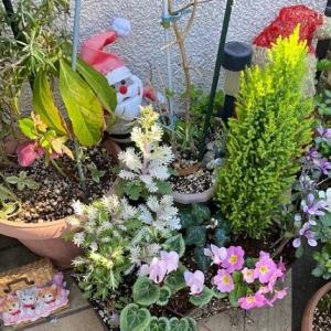 お庭の鉢植えとブロッコリー