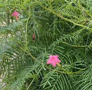 ピンクのルコウソウ開花とひつじ雲