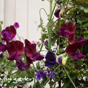 ≪花の種プレゼント2021≫スイートピー