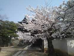 観龍寺と酒津公園の桜