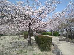 桜終わり(亀島山公園・連島西鶴橋桜並木)