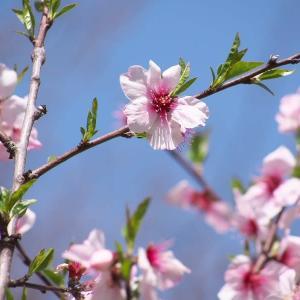 アーモンド*菜の花*キチョウ*ナガミヒナゲシ