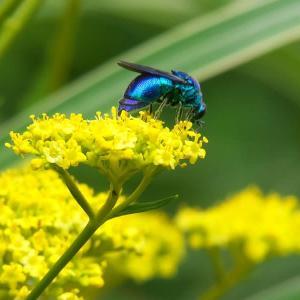 青く光る蜂「オオセイボウ」*ミズヒキ