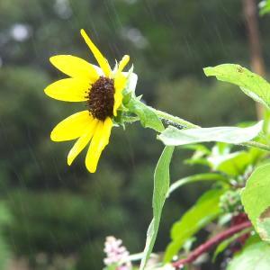 雨の日のヒマワリ*バラ