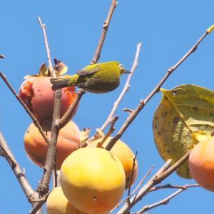 柿にメジロの季節です。