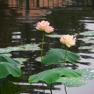 龍王池のハスの花