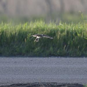 ヒバリは案外見ない鳥。