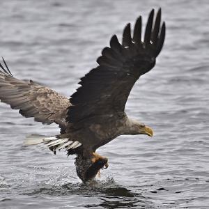 オジロワシ、魚を捕獲する! ~今週のウトナイ湖
