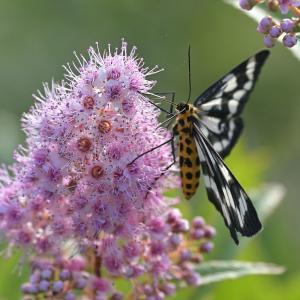 蛾か蝶かトンボ ~今週のウトナイ湖