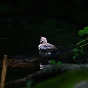 コルリ(若鳥)
