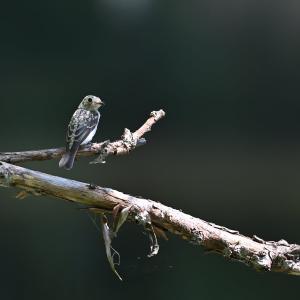 コサメビタキ幼鳥・オオルリ幼鳥
