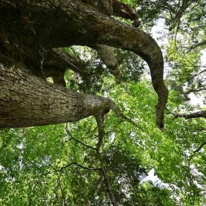 オコタン埼探検ツアー 推定樹齢1200年幹周6.9mのミズナラに会いに。 2019.8.18