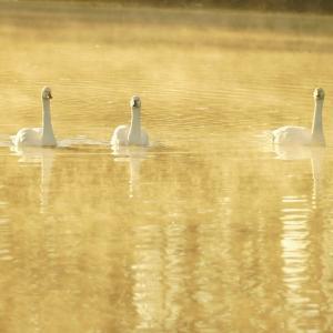 この冬は白鳥さんの川に通いました