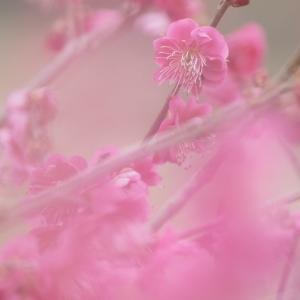 春!ピンクの梅が可愛く咲いてますね♡