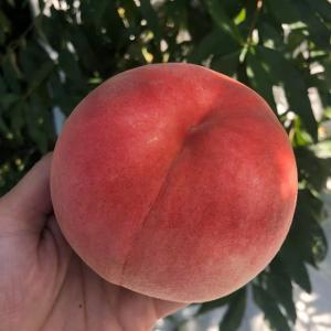 桃のギフト、予約開始