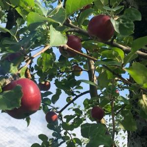 夏のりんご「夏の紅」