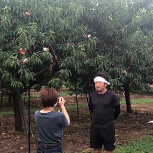 桃、収穫迫る