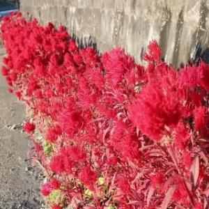 燃える鶏頭の赤い花