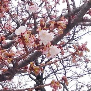「あたみ桜」