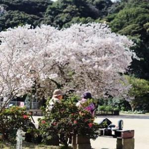 100年桜満開