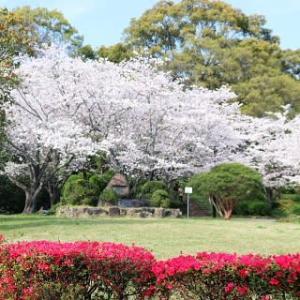 小城公園の桜満開