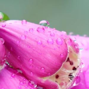 雨に濡れるジギタリス