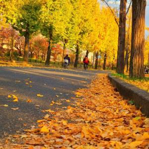 大阪城公園の銀杏並木