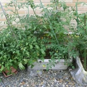 我家の家庭菜園事情 2021 ~その2 収穫状況は?