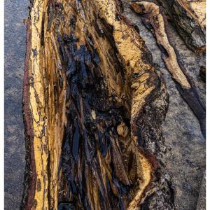 櫟を捌く 3