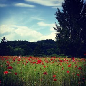 雫石 メルヘンチックなポピーの花畑ではしゃぐ
