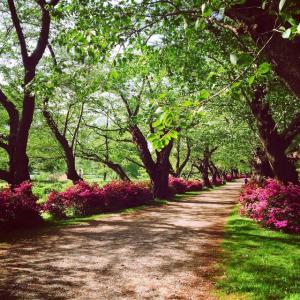 葉桜の北上 展勝地