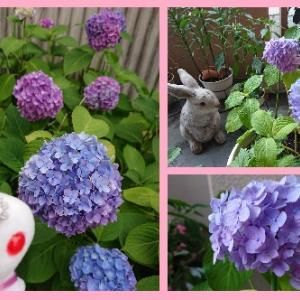 紫陽花の季節。。