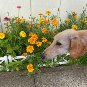 今日のお散歩もお花とワンコ