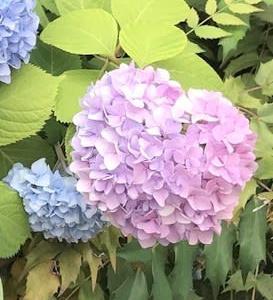 ハートの紫陽花♡