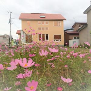 秋桜(コスモス)