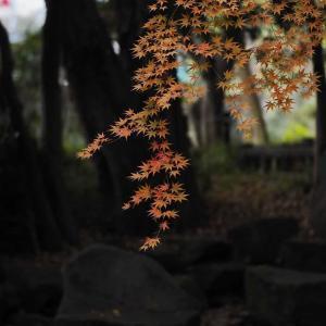 いつも行っている公園の紅葉